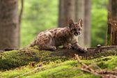 Puma kitten — Stock Photo