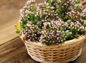 Blooming oregano — Stock Photo