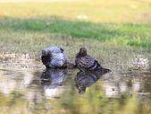 Rock Pigeon, Columba livia f. domestica — Stock Photo