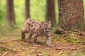 Puma cub — Stockfoto