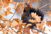 Red squirrel in winter, black form — Stock Photo