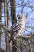 Great Grey Owl or Lapland Owl — Stock Photo