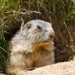 Groundhog in front of den — Stock Photo #13369250