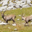 Group of alpine ibex — Stock Photo