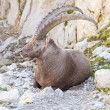 Male alpine ibex, Switzerland - Stock Photo