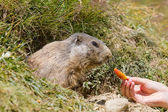 Wild groundhog fed by toursit — Stock Photo