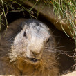 Groundhog in den — Stock Photo