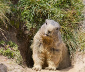 Groundhog in front of den — Stock Photo