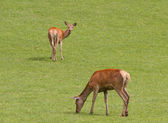 Female red deer grazing. — Stock Photo