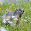 Stock Photo: Groundhog on alpine flower meadow