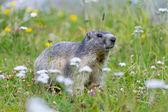 świstaka na alpejskich kwiatów łąka — Zdjęcie stockowe