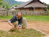 Villager dries tea leafs in Burma — Stock Photo