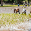 Rice farmers on rice field, Cambodia — Stock Photo