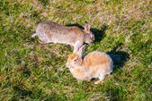 Two hares in their natural habitat, Iceland — Stock Photo