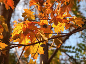 Renkli akçaağaç yaprağı ağaç üzerinde — Stok fotoğraf