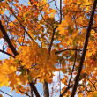 Royalty-Free Stock Photo: Colorful maple leaves on the tree with blue sky