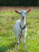 Young goat staying on green grass — Stock Photo