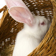 Stock Photo: White albino rabbit in basket