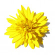 Yellow flower isolated on a white background — Stock Photo