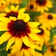 Stock Photo: Close up view of beautiful yellow cone flower