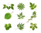 зеленые листья коллекции — Стоковое фото