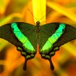 Green swallowtail butterfly resting on a leaf — Stock Photo