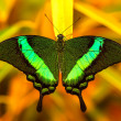 Green swallowtail butterfly resting on a leaf — Stock Photo #29819287