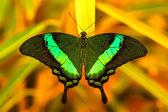 Zielony swallowtail motyl spoczywała na liściu — Zdjęcie stockowe