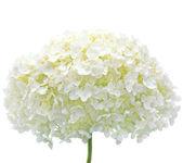 Witte hortensia bloem bloeit, geïsoleerde macro close-up, mophead — Stockfoto