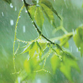 New Virginia Creeper, Early Summer Rainy Day Rainstorm Rain, Gentle Parthenocissus Quinquefolia Bokeh Macro Closeup — Stock Photo