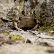 Bufo viridis — Stock Photo #12424808