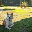 Akita inu dog on the yard — Stock Photo