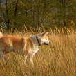 Stock Photo: Akitinu dog