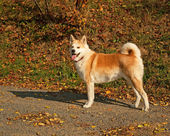 Nice young akita dog — Stock Photo