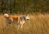 Akita inu dog — Stock Photo