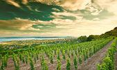 Nice vineyard in Hungary — Foto de Stock