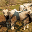 Hungarian grey cattles — Stock Photo
