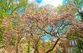 Trees in pink blossom — Stock Photo
