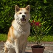 Akita dog with oleander — Stock Photo