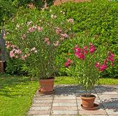 Bom oleander — Foto Stock