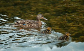 Female wild duck with ducklings — Stock Photo