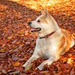 Akita Inu Hund — Stockfoto