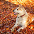 Akita inu dog — Stock Photo