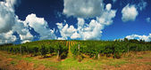 Nice vineyard — Stock Photo