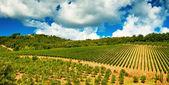 Nice vineyard in Tuscany — Stock Photo