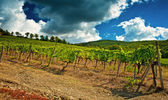 Nice vineyard in Tuscany — Photo