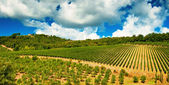 Nice vineyard in Tuscany — Stock Photo