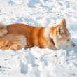 mooi akita hond in de winter — Stockfoto #37821761