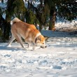 mooi akita hond in de winter — Stockfoto #37821799