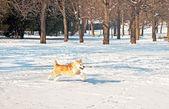 Nice akita dog in winter — Stock Photo